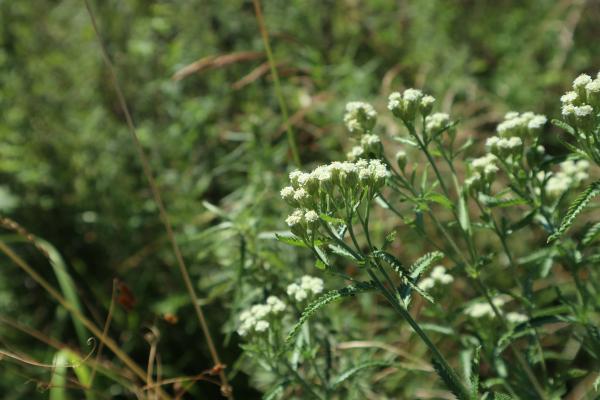 Eupatorium perfoliatum scaled
