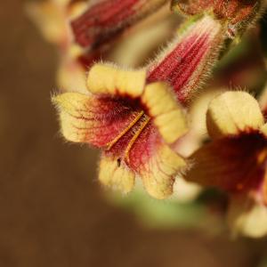 Rehmannia glutinosa scaled