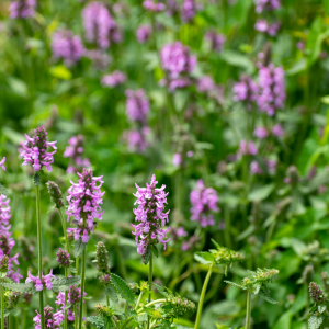 Stachys betonica scaled
