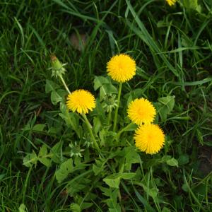 Taraxacum officinalis FOL scaled