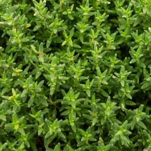 Thymus vulgaris scaled